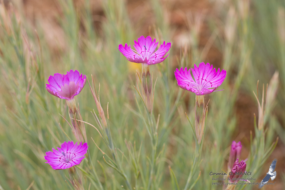 Semis de Dianthus - Page 2 IMG_1435_Dianthus_nardiformis