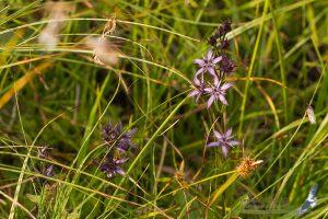 Swertia perennis, Romania - Rarau Mts. (SV), 1.august.2016