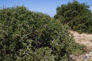 Lycium ferocissimum, Morocco - Essaouira (prov. Essaouira), 13.april.2016