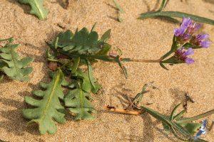 Limonium beaumierianum, Morocco - near Sidi Kaouki (prov. Essaouira), 13.april.2016