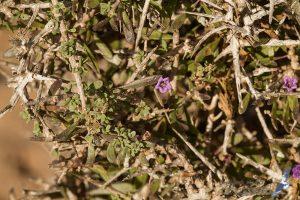 Lycium intricatum, Morocco - near Sidi Kaouki (prov. Essaouira), 13.april.2016
