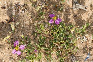 Fagonia cretica, Morocco - near Sidi Kaouki (prov. Essaouira), 14.april.2016