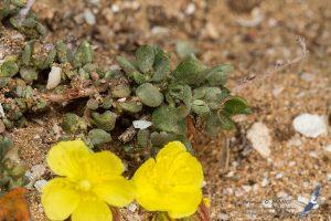 Helianthemum canariense, Morocco - near Sidi Kaouki (prov. Essaouira), 14.april.2016