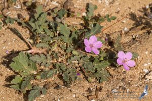 Erodium, Morocco - near Sidi Kaouki (prov. Essaouira), 14.april.2016